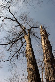 Tall Dead Tree Royalty Free Stock Photography