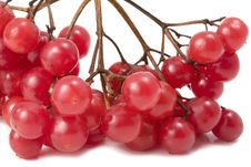 Free Guelder-rose On White Stock Image - 4829921
