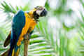 Free Blue And Yellow Scarlet Macaw Royalty Free Stock Images - 4833099