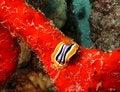 Free Nudibranch Royalty Free Stock Photos - 4838198