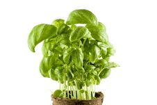 Free Close-up Fresh Basil Plant Isolated Stock Photography - 4830152