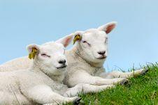 Free Cute Lamb Stock Photo - 4830430