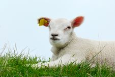 Free Cute Lamb Stock Image - 4830431