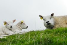Free Cute Lamb Stock Photo - 4830460