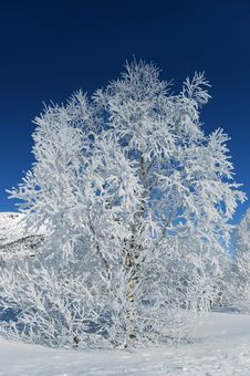 Free Tree With Frost Royalty Free Stock Photos - 4830708