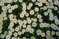 Free Sunlit White Daisies Royalty Free Stock Images - 4831199