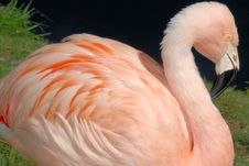 Free Pink Flamingo Closeup Royalty Free Stock Photos - 4831408