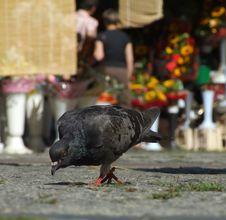 Free Pigeon Stock Image - 4831631