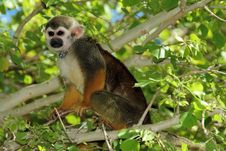 Squirrel Monkey In Tree With Necklace Stock Photos