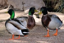 Free Three Mallard Ducks Royalty Free Stock Images - 4831769