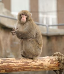 Free Japanese Macaque Royalty Free Stock Images - 4831999
