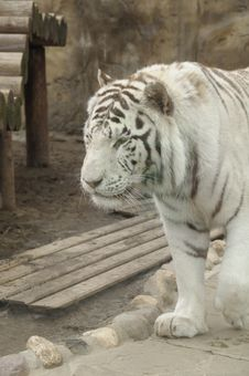 Free White Bengal Tiger Stock Images - 4832014