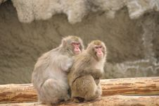 Free Japanese Macaque Royalty Free Stock Images - 4832029