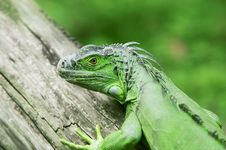 Free The Lizard On The Wood Stock Photos - 4832423