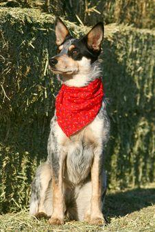 Heeler Pup 38 Stock Images