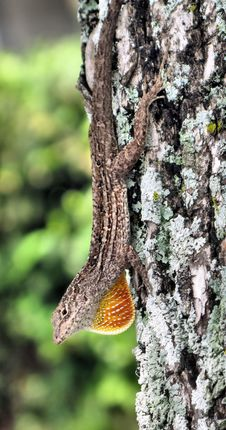 Free Lizard Stock Photo - 4833530