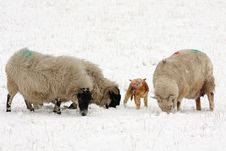 Free Sheep And Lamb In The Snow Royalty Free Stock Photos - 4833598