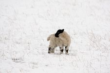 Free Black Faced Lamb In The Snow Stock Image - 4833601