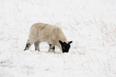 Free Black Faced Lamb In The Snow Royalty Free Stock Images - 4833639