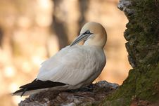 Free Gannet At Troup Head Royalty Free Stock Photography - 4833697