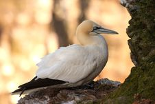Free Gannet At Troup Head Royalty Free Stock Photos - 4833698