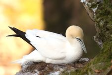 Free Gannet At Troup Head Stock Photography - 4833722