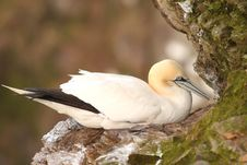 Free Gannet At Troup Head Stock Images - 4833724