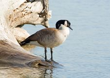 Free Goose Royalty Free Stock Photos - 4834348