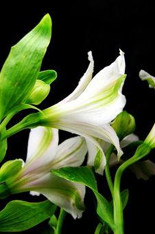 Free White Amaryllis Stock Photography - 4834512