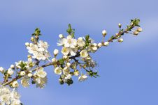 Spring Blooming Branch Royalty Free Stock Photos