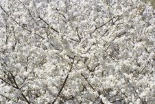 Free Little White Blooms Background Stock Image - 4835021