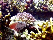 Free Freckled Hawkfish Resting Stock Image - 4835521