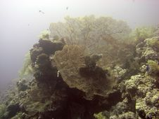 Gorgonian Sea Fans Royalty Free Stock Images