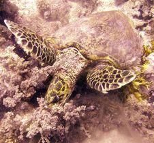 Free Hawksbill Turtle Resting Stock Photos - 4835763