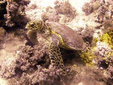 Free Hawksbill Turtle Resting Stock Image - 4835811