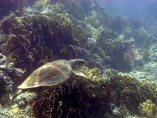 Free Hawksbill Turtle Royalty Free Stock Photos - 4835828