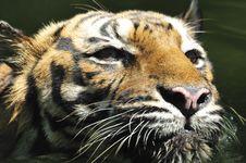 Free Tiger Of Sumatra Royalty Free Stock Images - 4837079