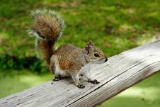 Free Squirrel Stock Photography - 4837092