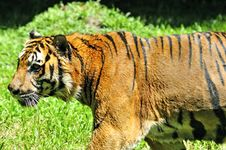 Free Tiger Of Sumatra In The Jungle Stock Images - 4837094
