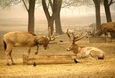 Free Elk Royalty Free Stock Photography - 4837457