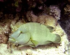 Free Napoleon Wrasse Royalty Free Stock Images - 4838039