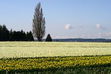 Free Daffodils Stock Images - 4838774