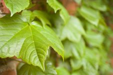 Free Green Leaves Royalty Free Stock Photo - 4839355