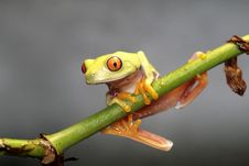 Free Red Eyed Tree Frog Stock Photography - 4839992