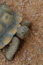 Free Desert Tortoise 2 Royalty Free Stock Images - 4846199