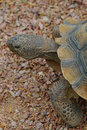 Free Desert Tortoise 1 Stock Photos - 4846203