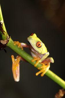 Free Red Eyed Tree Frog Royalty Free Stock Image - 4840016