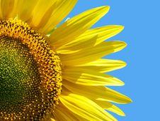 Free Sunflower Stock Photography - 4840472