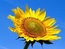 Free Sunflower Royalty Free Stock Photos - 4840508