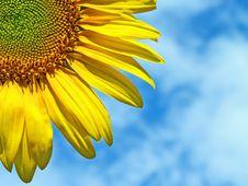 Free Sunflower Royalty Free Stock Photos - 4840518